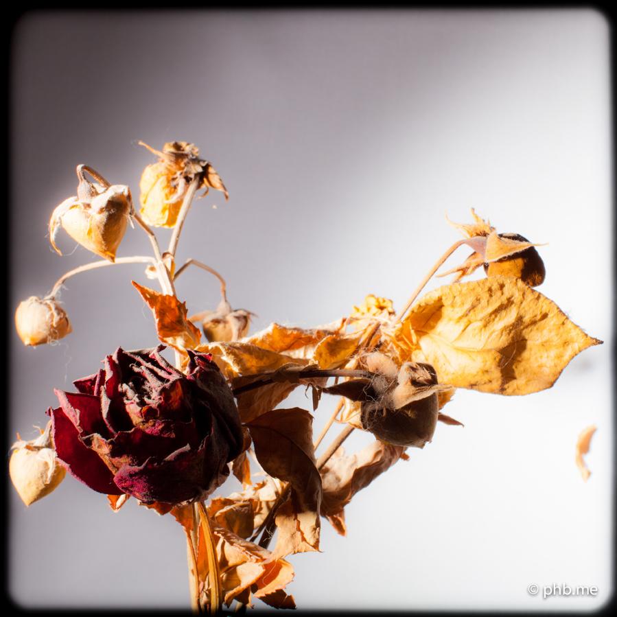 29062016-IMG_7198-rose-2004-phb