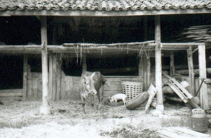 yunnan-baisha04-fermevachecochon