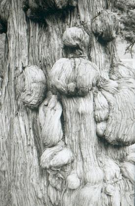 pekin-112-temple-de-confucius-detail-arbre