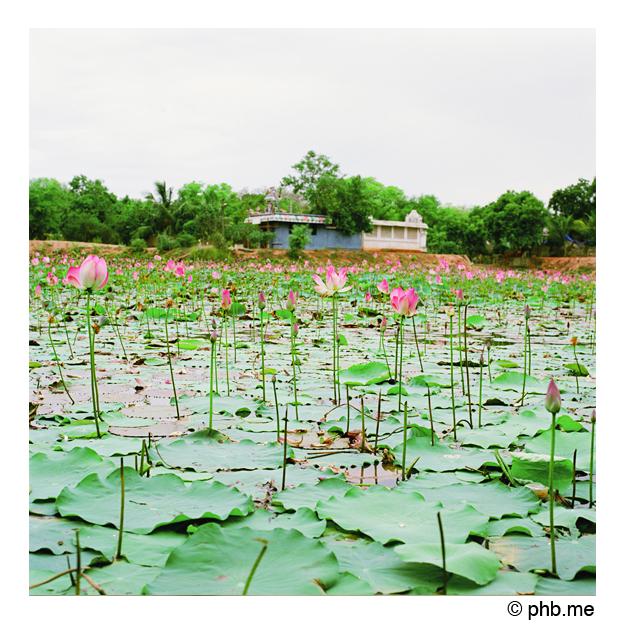 lotus_phb-me