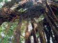 fuli01-arbrealiane